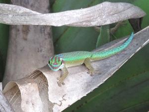 Manapani, gecko endémique