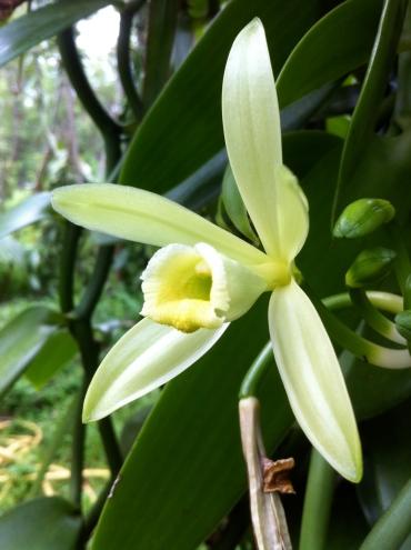 Plantation de vanille à la Réunion
